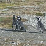 Pinguine - Seno Ottway